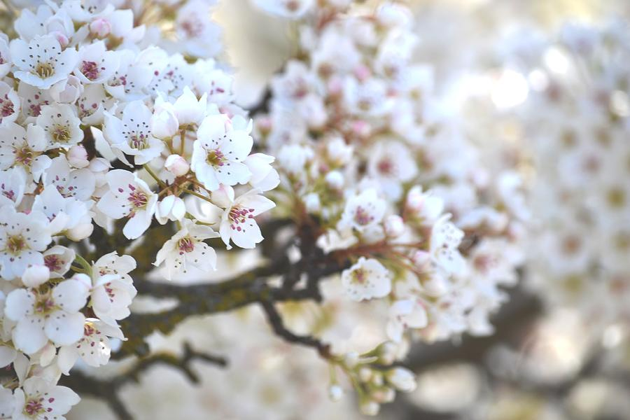 Pretty White Flowering Tree In Spring Photograph By P S