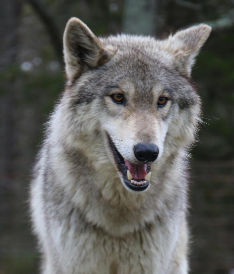 pretty wolf photograph by valerie stein