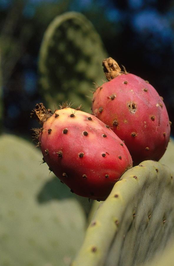 f574f1ea0a2 Cactaceae Photograph - Prickly Pear Cactus Fruit by Greg Ochocki