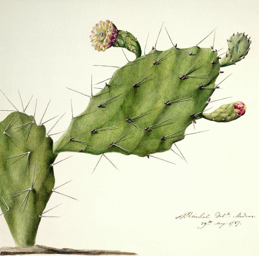 Prickly Pear Photograph - Prickly Pear (opunita Fiscus-indica) by Natural History Museum, London/science Photo Library