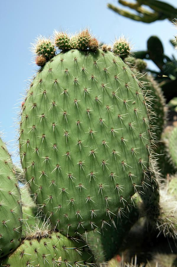 Opuntia Ficus-indica Photograph - Prickly Pear (opuntia Ficus-indica) by Pascal Goetgheluck/science Photo Library