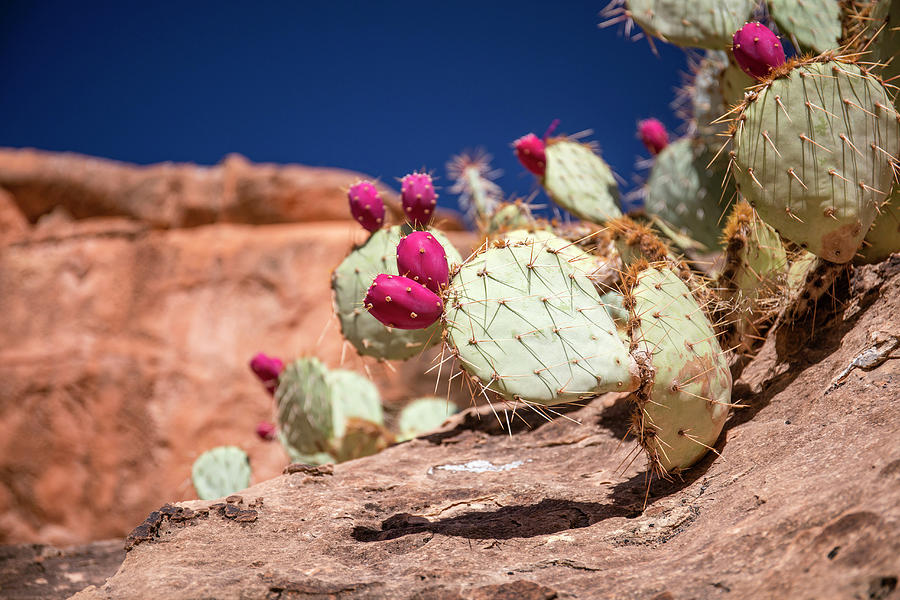 American Photograph - Prickly Pear (opuntia Sp.) In Fruit by Michael Szoenyi