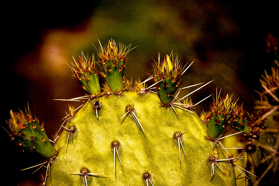 Prickly Pear Spring Photograph