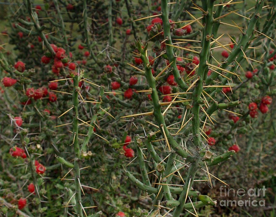Cylindropuntia Leptocaulis Photograph - Prickly Pete Cactus by Peter Piatt
