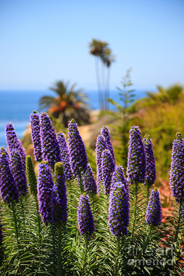 America Photograph - Pride Of Madeira Flowers In Orange County California by Paul Velgos