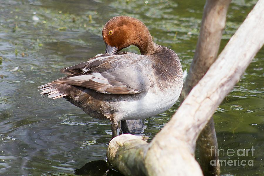 Red Head Photograph - Prim and Proper Redhead Duck by Nikki Vig