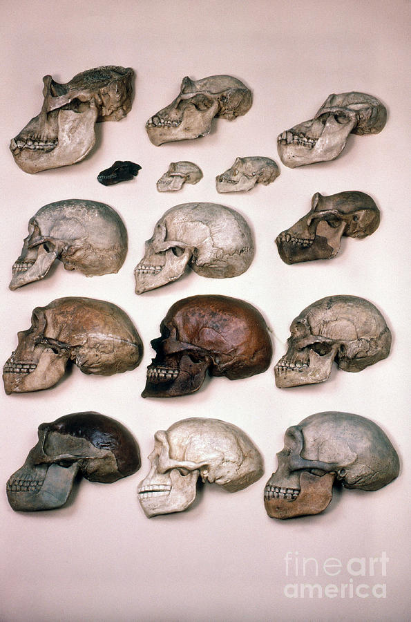 Homo Photograph - Primate Skulls Apes And Humans by E R Degginger