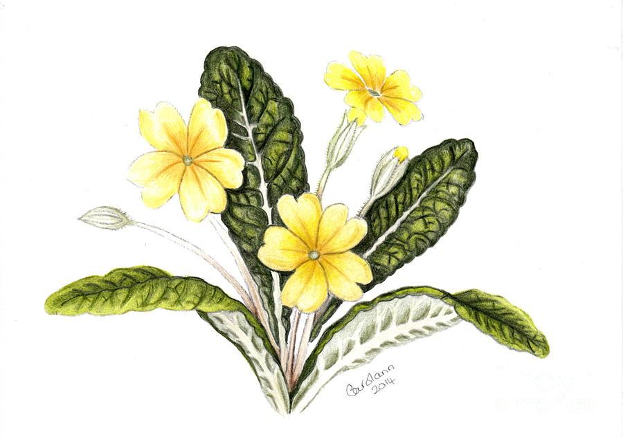 Primrose Drawing by Carol Doran