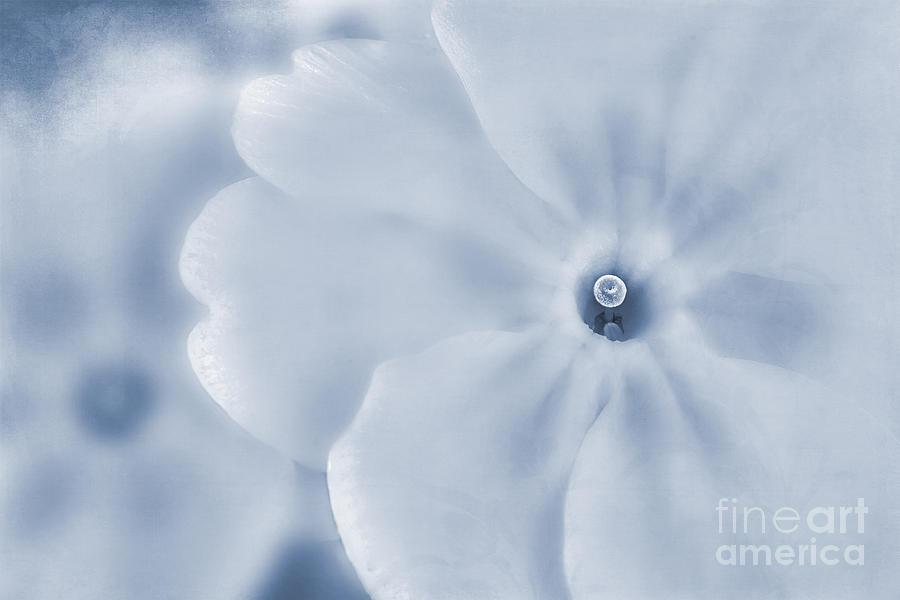 Primula Vulgaris Photograph - Primrose Cyanotype by John Edwards