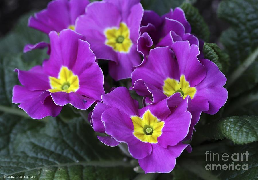 Flowers Photograph - Primrose Purple by Deborah Benoit