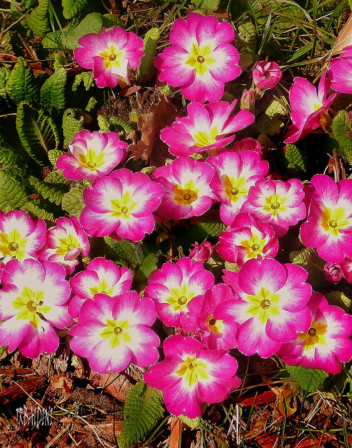 Flower Photograph - Primroses by J R Baldini Master Photographer