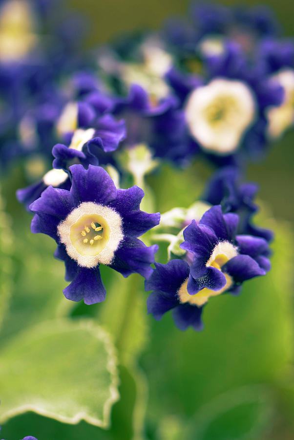 Primula Auricula Photograph - Primula Auricula old Irish Blue Flowers by Adrian Thomas