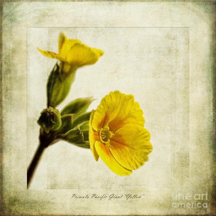 Season Photograph - Primula Pacific Giant Yellow by John Edwards