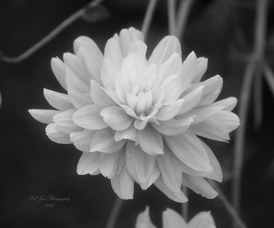 Dahlia Photograph - Prissy In Black And White by Jeanette C Landstrom