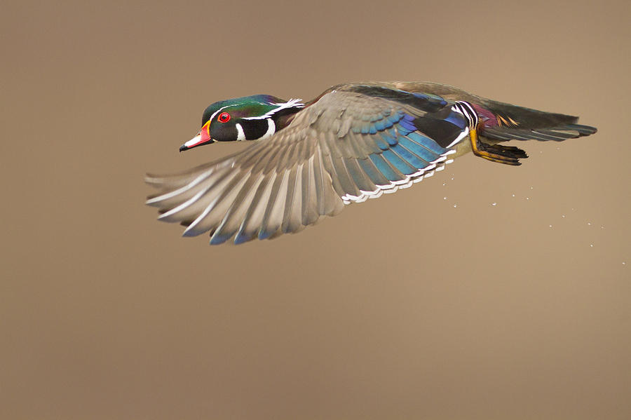 Probably Photograph - Probably The Most Beautiful Of All Duck Species by Mircea Costina Photography