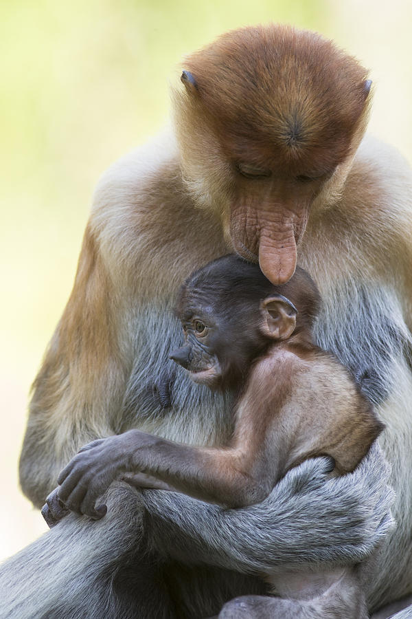 Proboscis Monkey Mother Holding Baby Photograph by Suzi Eszterhas