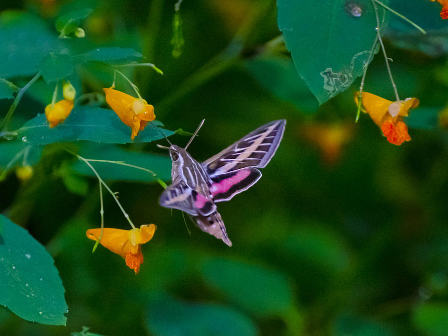 Profileof A Sphinx Moth Photograph