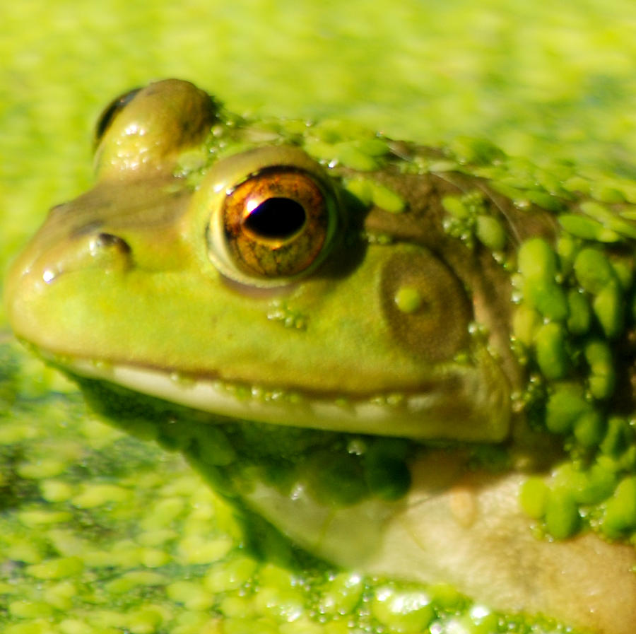 Green Algae Photograph - Profiling Frog by Optical Playground By MP Ray