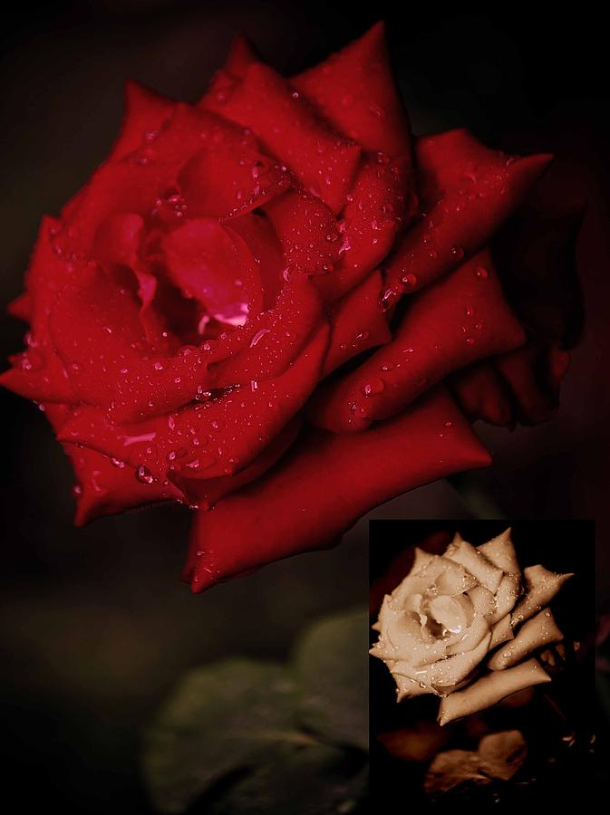 Rose Photograph - Promise Of Tomorrow by DigiArt Diaries by Vicky B Fuller