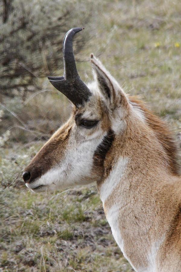 Pronghorn Photograph - Pronghorn buck profile by Jill Bell