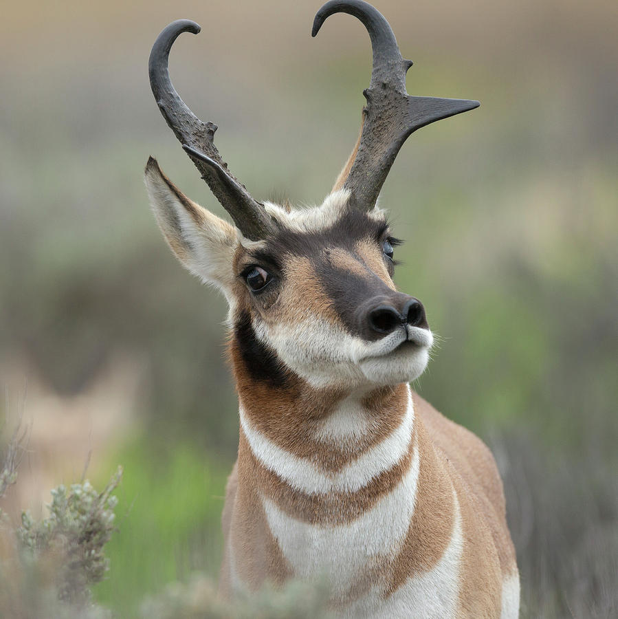 Adult Photograph - Pronghorn Buck Showing Territorial by Maresa Pryor