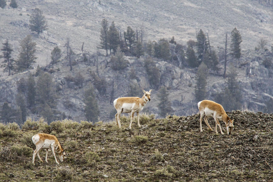 Pronghorn Photograph - Pronghorn Does by Jill Bell
