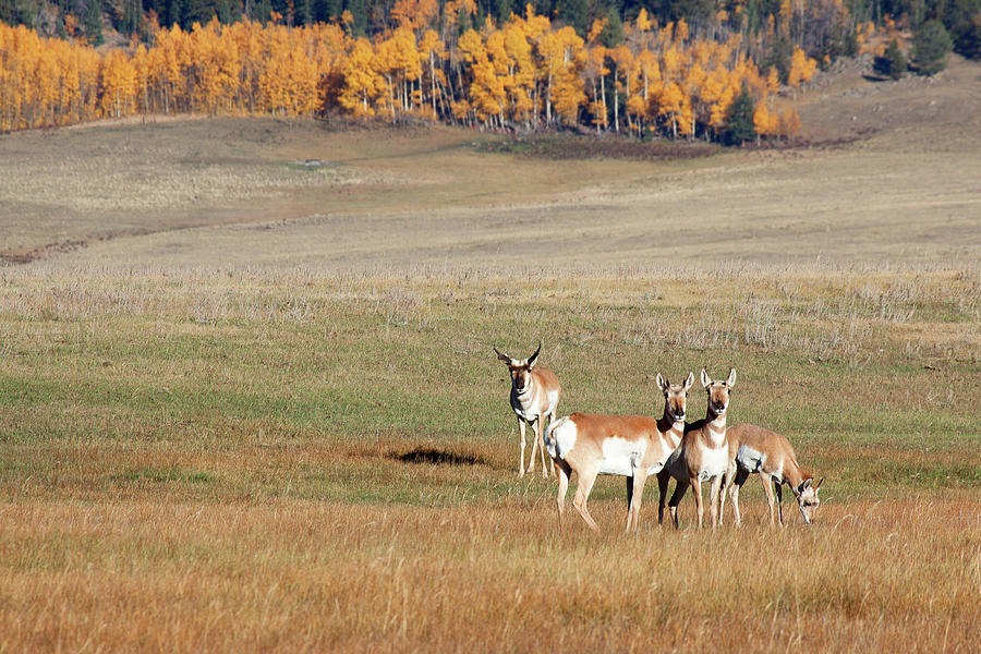 Antelope Photograph - Pronghorn In The Park by Jim Garrison
