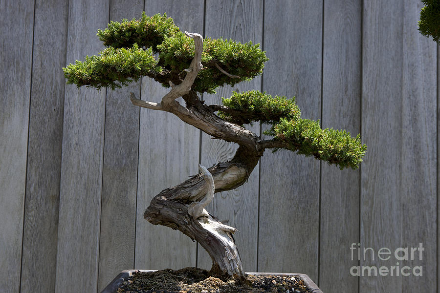 Prostrate Juniper Bonsai Tree Photograph By Jason O Watson
