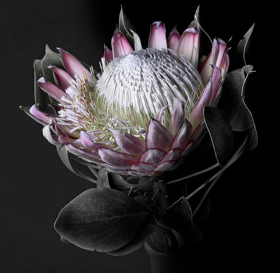 Protea Photograph by By Sigi Kolbe
