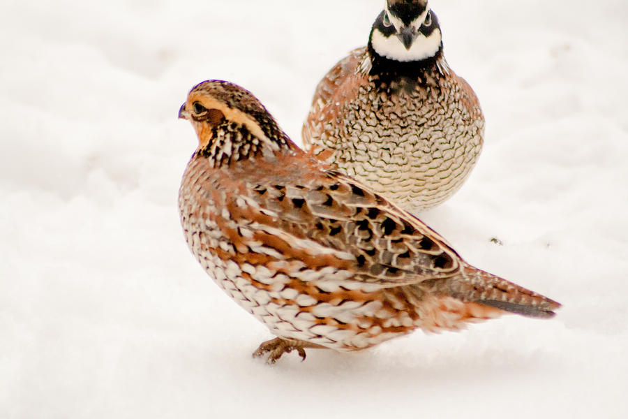 Nebraska Photograph - Protective Quail by Dawn Romine