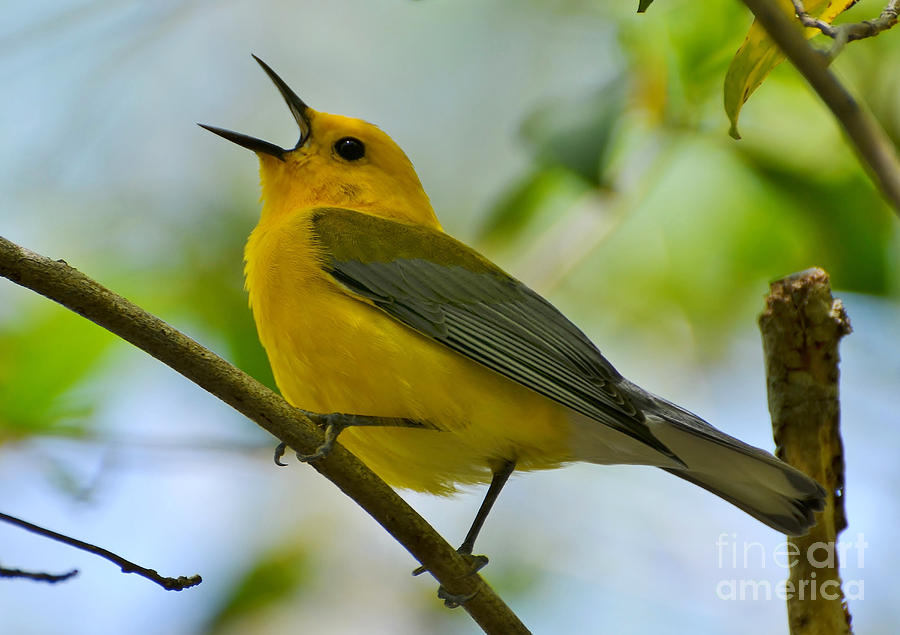Warbler Photograph - Prothonotary Warbler Singing by Kathy Baccari