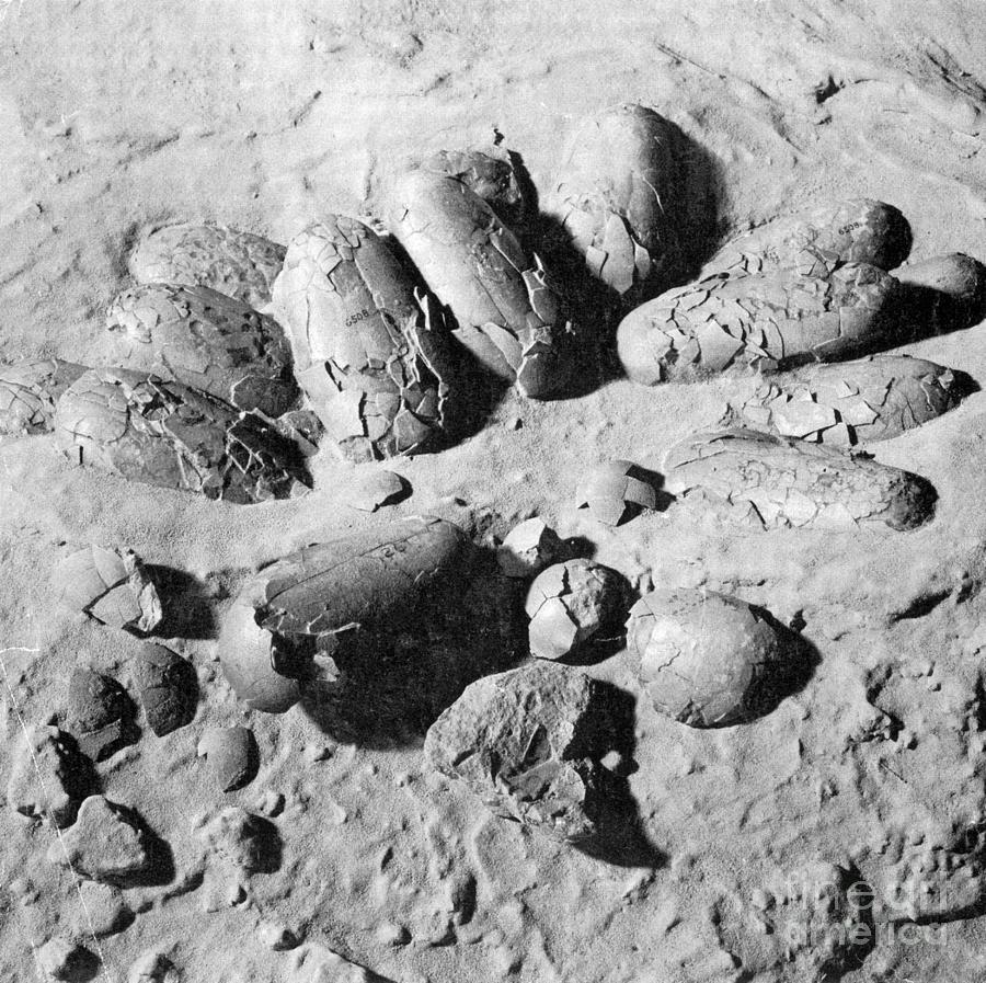 Dinosaur Photograph - Protoceratops Eggs Cretaceous Dinosaur by Science Source
