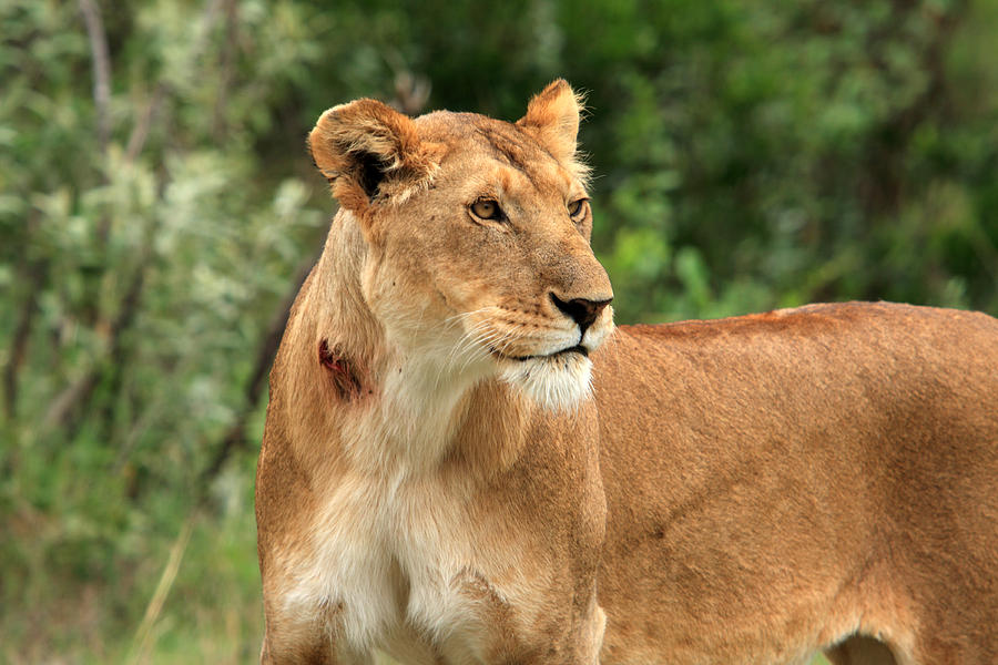 Africa Photograph - Proud Lioness by Aidan Moran