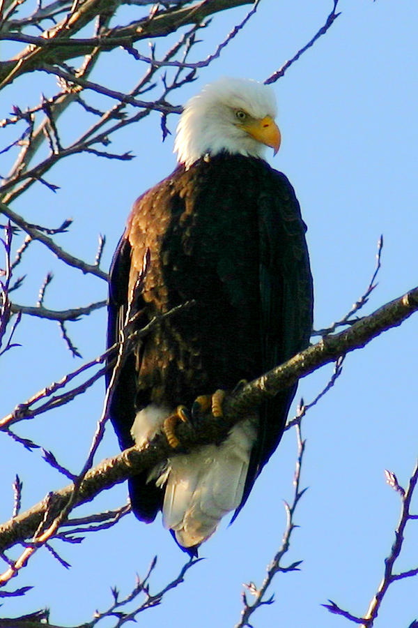 Eagle Photograph - Proud by Mac Kenney