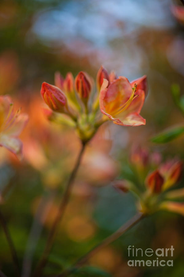Rhododendron Photograph - Proud Orange Blossoms by Mike Reid