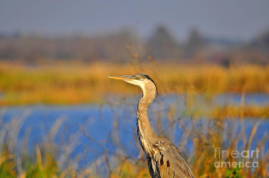 Heron Photograph - Proud Profile by Al Powell Photography USA
