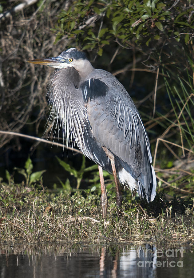 Pround Blue Heron Photograph