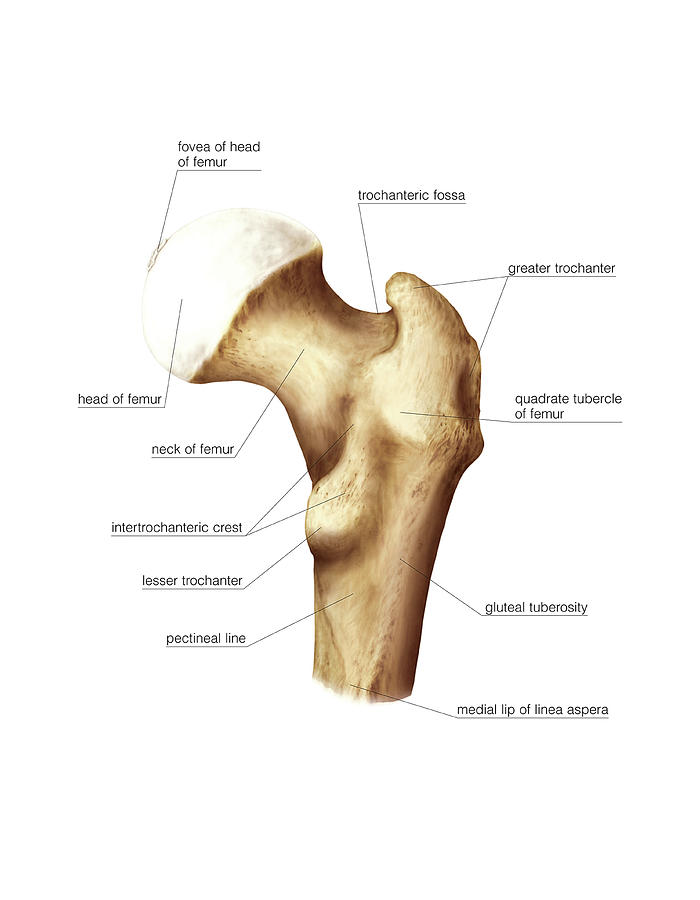 Proximal Extremity Of Femur Photograph by Asklepios Medical Atlas