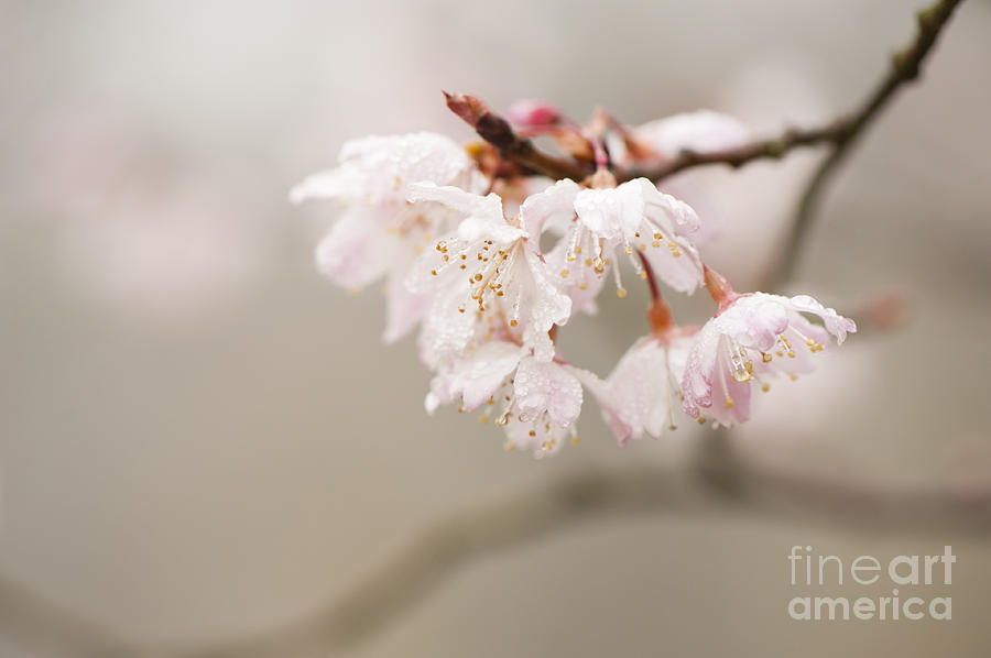 Floral Photograph - Prunus Hirtipes by Anne Gilbert
