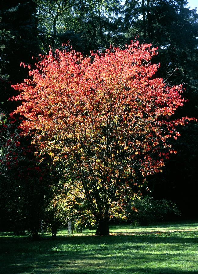 Cherry Tree Photograph - Prunus Sp by Chris Dawe/science Photo Library