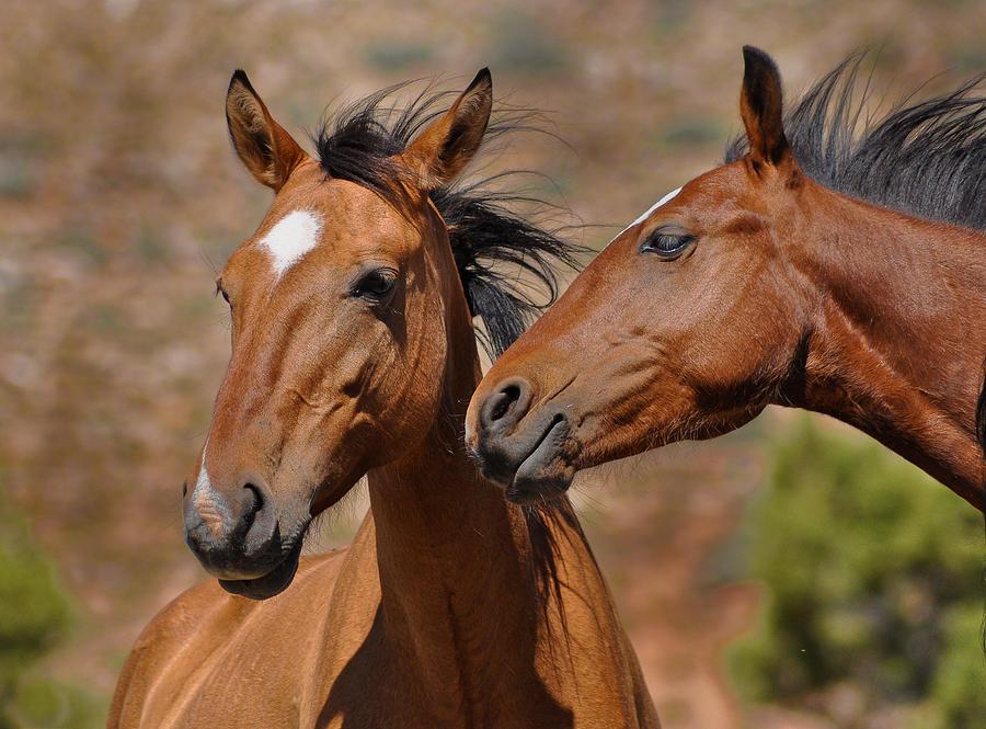 Pryor Mountain Horses having a Conversation by Victoria Porter