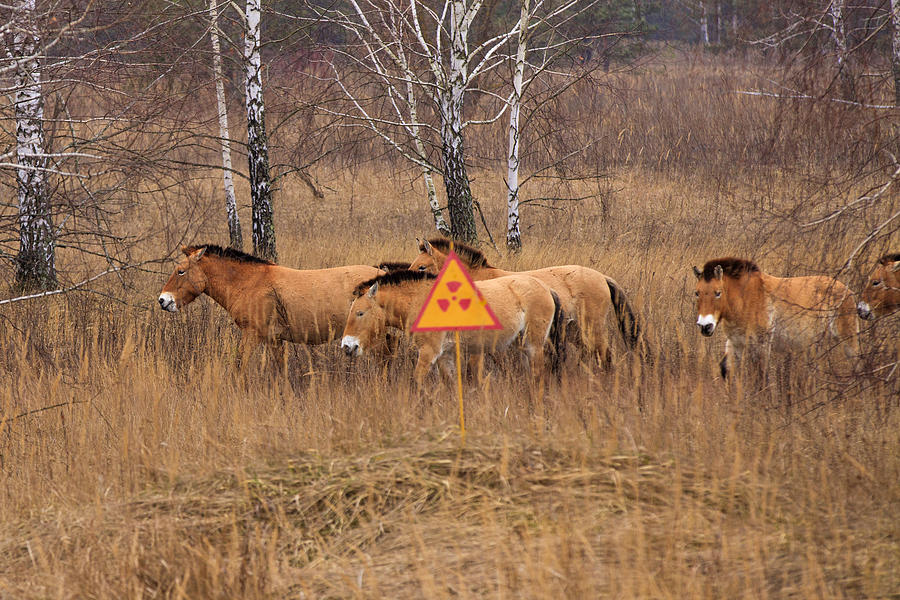 Przewalskis horse the Exclusion Zone. Chernobyl Photograph by Anton Petrus