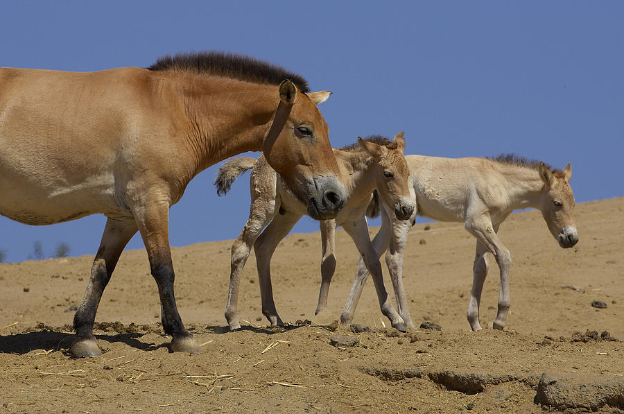 Przewalskis Horse With Two Foals Photograph by San Diego Zoo