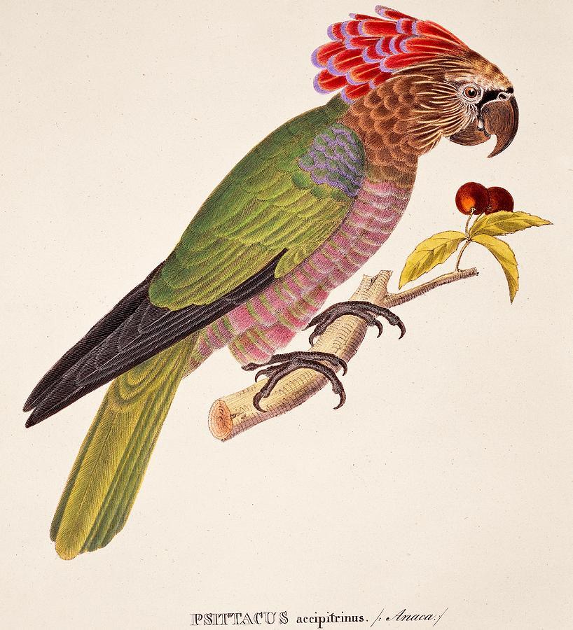 Bird Painting - Psittacus Accipitrinus by German School