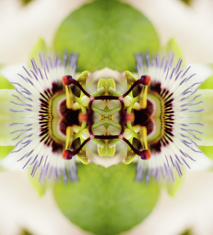 Psychedelic Composite Of Passion Flower Photograph by Silvia Otte