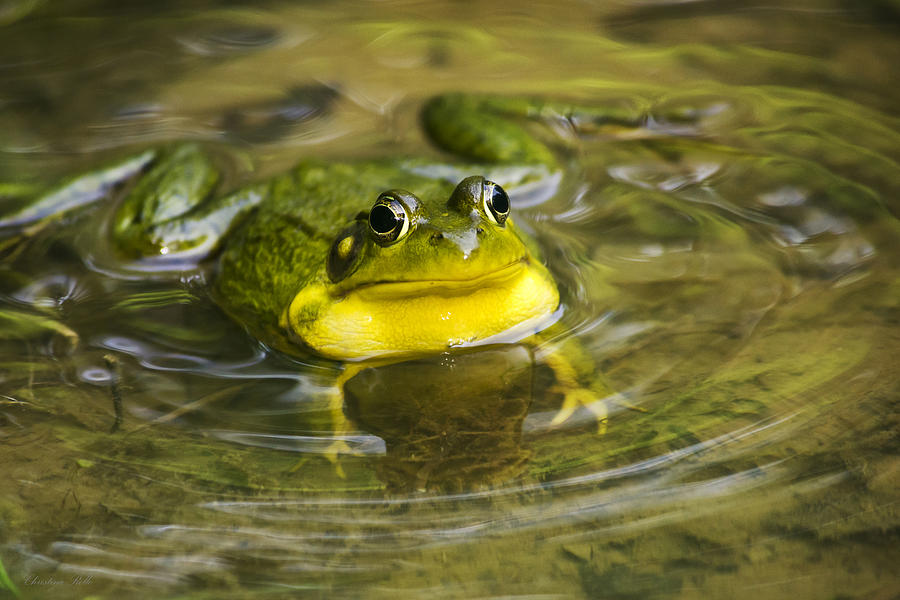 Frog Photograph - Puddle Jumper by Christina Rollo