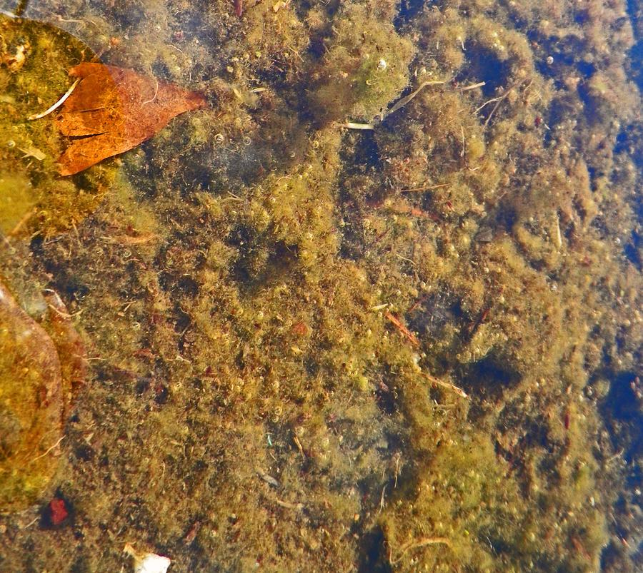 Algae Photograph - Puddle Muddle by Seth Shotwell
