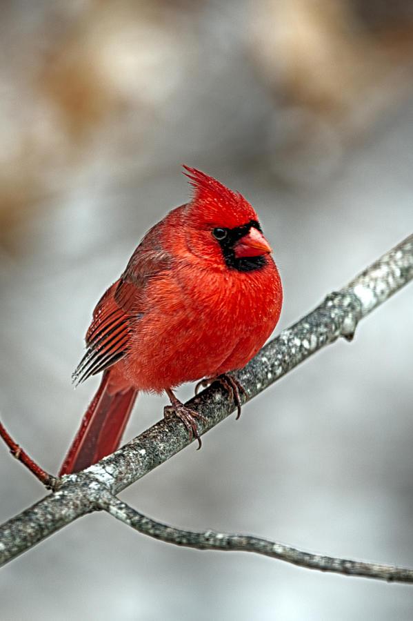 Puff The Cardinal Photograph