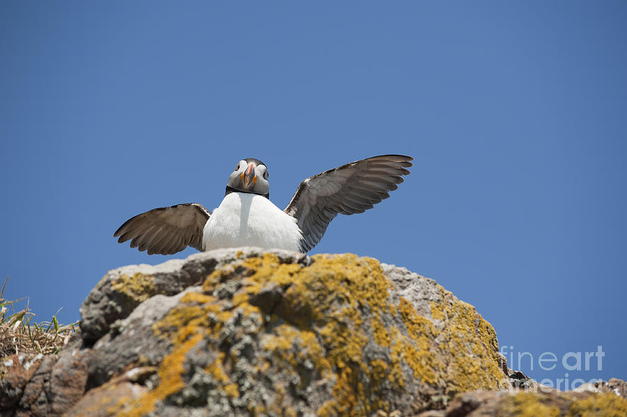 Puffed Photograph - Puffed Up Puffin by Anne Gilbert