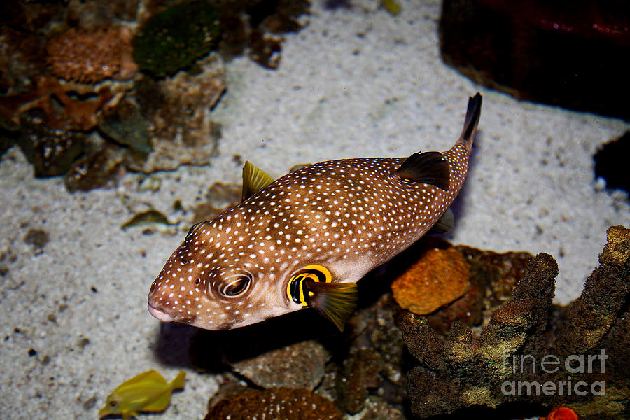 Pufferfish Photograph - Pufferfish 5d24157 by Wingsdomain Art and Photography